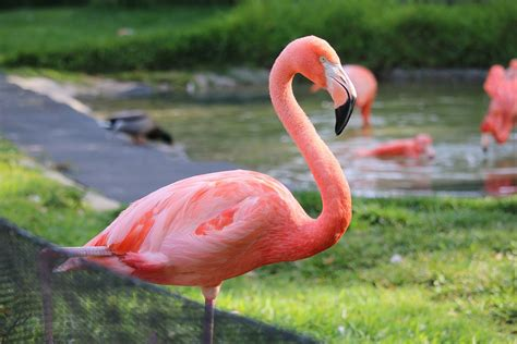 Flamenco San Diego Zoológico · Foto gratis en Pixabay