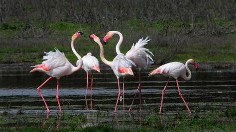 Flamencos, aves de paso   Ideal