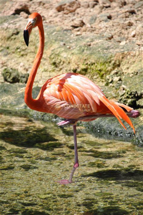 Flamencos: Aves de patas largas y hermoso plumaje rosado ...