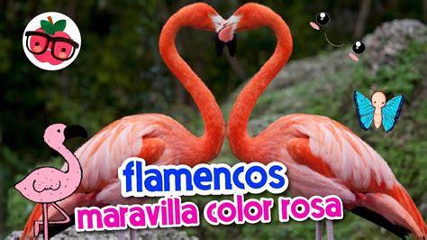 FLAMENCOS, MARAVILLA COLOR ROSA   YouTube