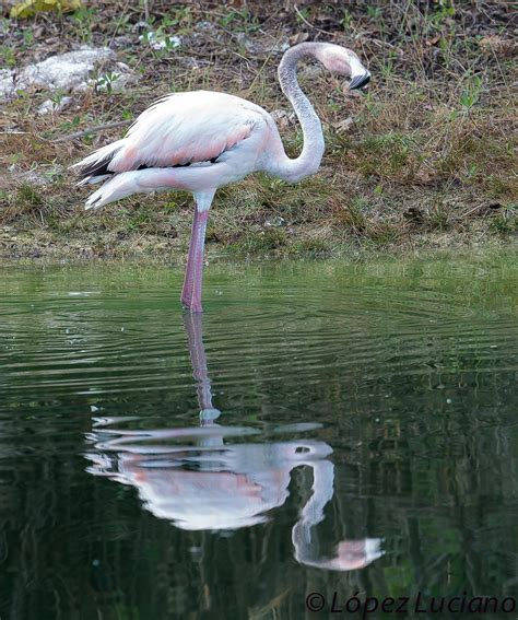 FLAMENCOS. Phoenicopterus ruber .GREATER FLAMINGO.RESIDENT ...