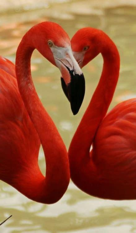 Flamencos rojos | Aves ivansanfeliu | Flamingos, Aves de ...