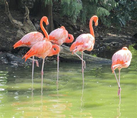 Flamencos Rosados Aves Silvestre   Foto gratis en Pixabay
