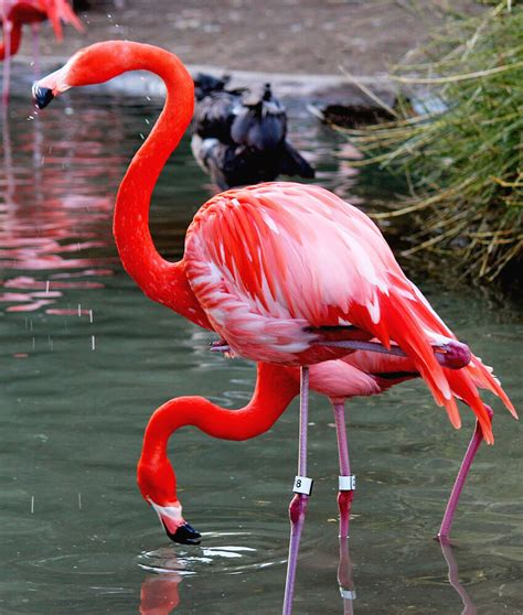 Flamingo   Free Jigsaw Puzzles Online