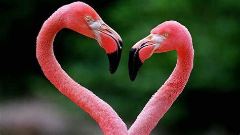 Flamingos Making Heart figure Desktop Wallpaper ...