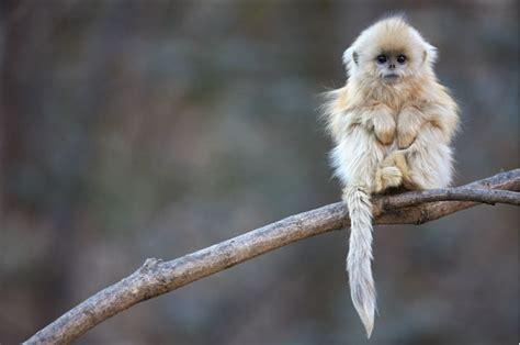 FLAREZON: Chinese snub nosed monkeys