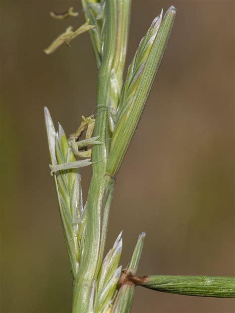 Flora de Andalucía   Lolium rigidum