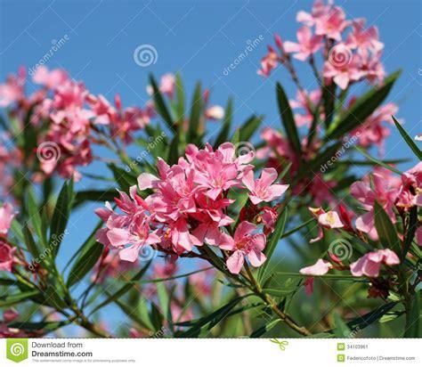 Flora Del Fiore Dell oleandro Tipica Del Mediterraneo ...