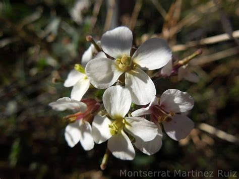 Flora Silvestre Mediterránea en Diciembre : RABANIZA ...