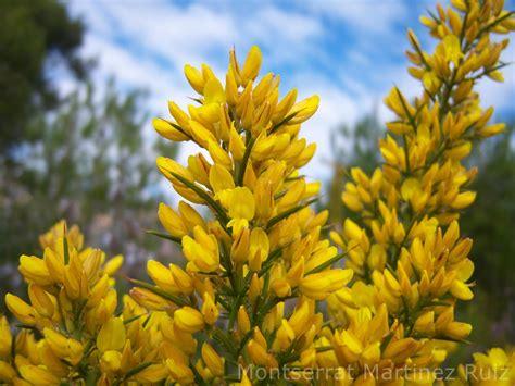 Flora Silvestre Mediterránea en Enero : TOJO   BOTÀNIC SERRAT