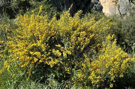 FLORACIONES EN MÁLAGA Y MÁS: Flora de la Axarquía 13