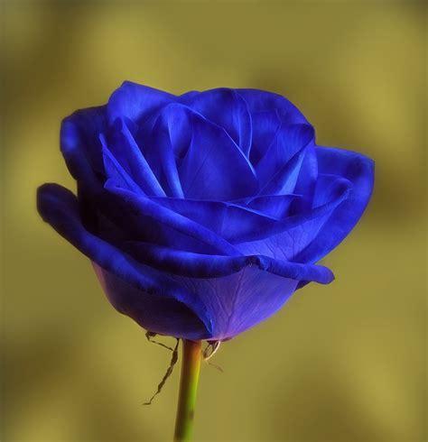 Flores azules para perfil whatsapp