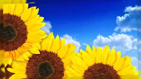Flores de Girasol Fotos Bonitas   YouTube