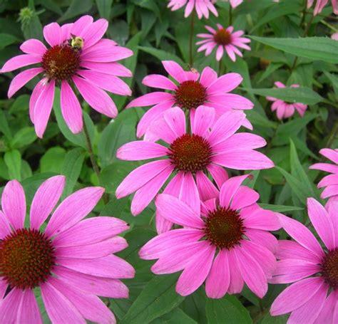 Flores resistentes al sol   CuatroD