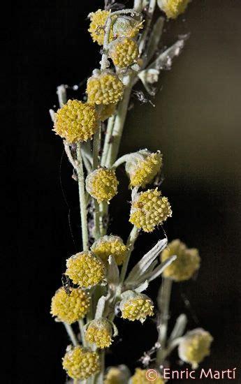Flores Silvestres del Mediterráneo: Asteraceae: Artemisia ...