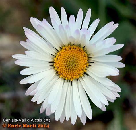 Flores Silvestres del Mediterráneo: Asteraceae: Bellis ...