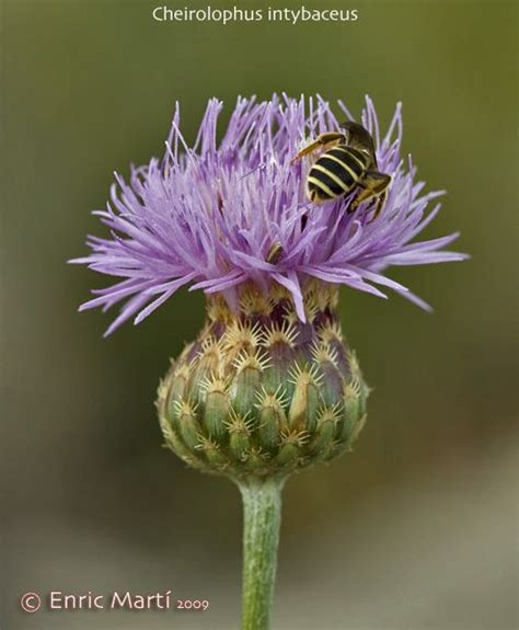 Flores Silvestres del Mediterráneo: Asteraceae ...