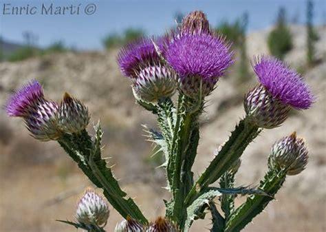 Flores Silvestres del Mediterráneo: Asteraceae: Onopordum ...