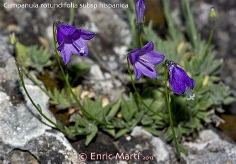 Flores Silvestres del Mediterráneo: Campanulaceae ...