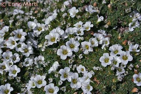 Flores Silvestres del Mediterráneo: Caryophyllaceae ...
