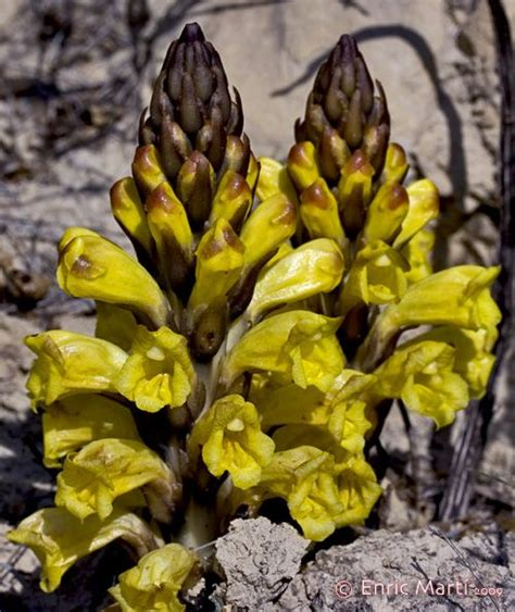 Flores Silvestres del Mediterráneo: Orobanchaceae ...