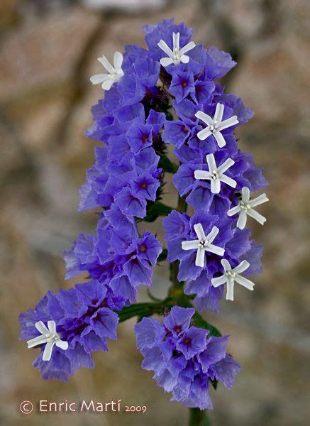 Flores Silvestres del Mediterráneo: Plumbaginaceae ...