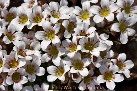 Flores Silvestres del Mediterráneo: Saxifragaceae ...
