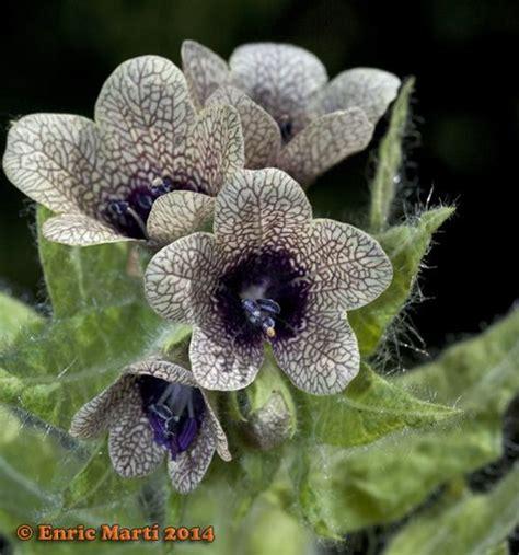 Flores Silvestres del Mediterráneo: Solanaceae: Hyoscyamus ...