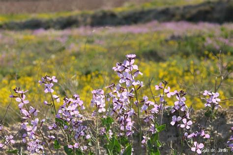 Flores silvestres: Moricandia arvensis   Guía de Jardín