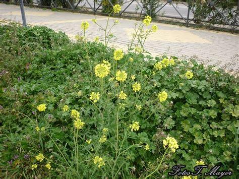 Flores y plantas silvestres:   Diplotaxis ibicensis ...