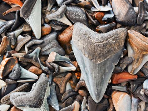 Florida by Water: Hunt for Shark's Teeth    National ...