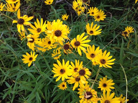 Florida Wildflowers: Narrowleaf Sunflower | Gardening in ...