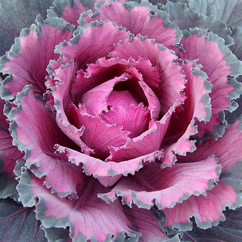 Flowering Cabbage Ornamental Indoors  Brassica oleracea ...