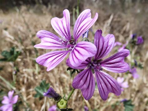 Flowers names: medicinal wildflowers malva | Wild Flowers ...