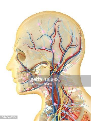 flujos linfáticos del cerebro | ☤ Chiropractic Care ...