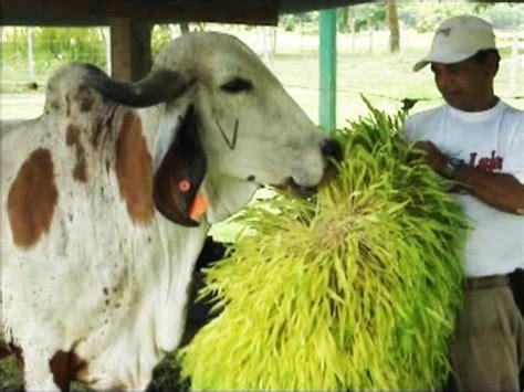 Forraje Hidropónico ¡Alimento fresco para sus animales ...