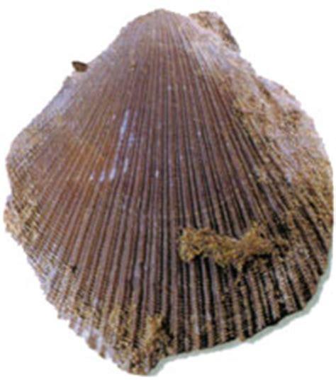 Fosil » Bivalvos