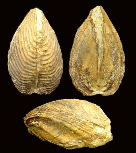 Fósiles   Bivalvos  Álbum de Bivalvos. Géneros I   Región ...