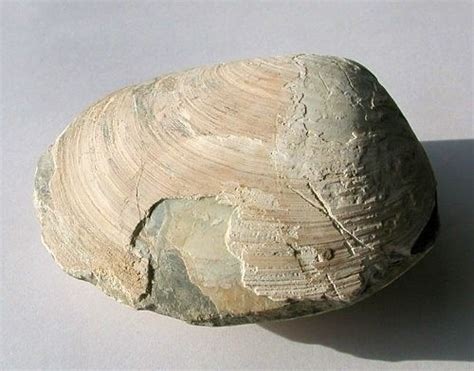 Fossil Picture Gallery | Galleries, Pictures and Fossil