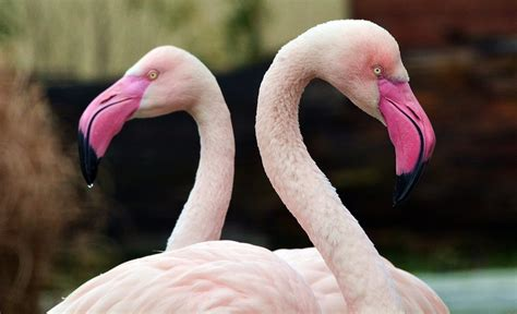 Foto gratis: Flamenco, Color De Rosa, Pájaro   Imagen ...