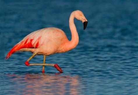 Fotografía Flamenco chileno  Phoenicopterus chilensis  de ...