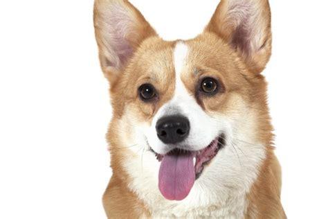 Fotos: corgi   Welsh corgi pembroke perro — Foto de stock ...