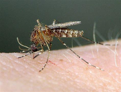 fotos de mosquitos   MOSQUITOS