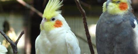 Fotos de Ninfa   Aves   webanimales.com