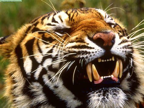 Fotos de tigres  I