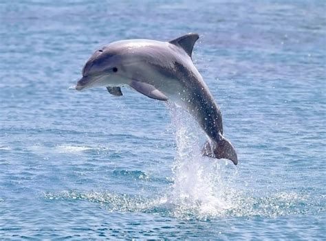 Fotos delfines saltando   Imagui