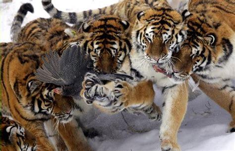 Fotos: El año del tigre   Tigres siberianos