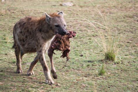 Fotos gratis : naturaleza, animal, fauna silvestre, África ...