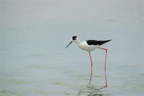 Fotos gratis : pájaro, pico, fauna, cigüeña, vertebrado ...