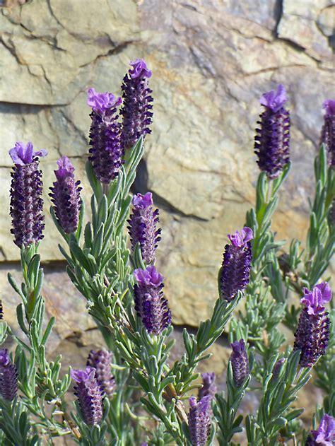 Fotos gratis : primavera, botánica, flora, lavanda, flor ...